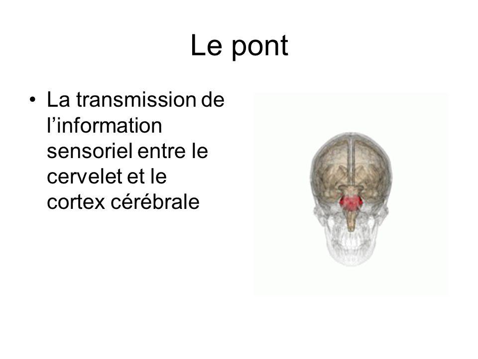 Le pont La transmission de l'information sensoriel entre le cervelet et le cortex cérébrale