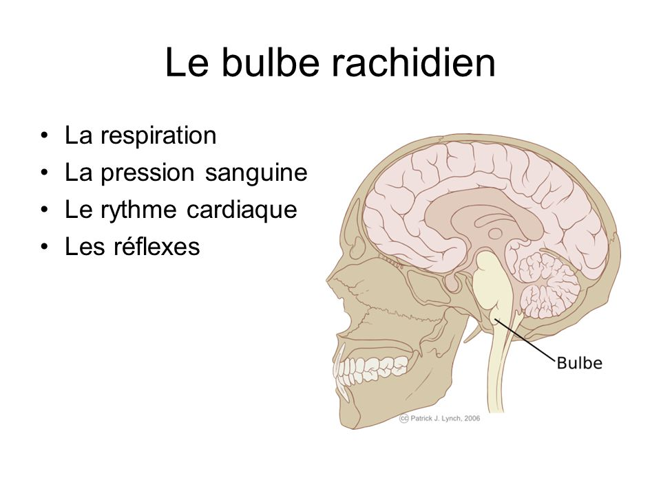 Le bulbe rachidien La respiration La pression sanguine
