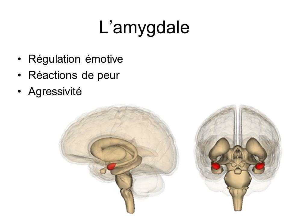L'amygdale Régulation émotive Réactions de peur Agressivité