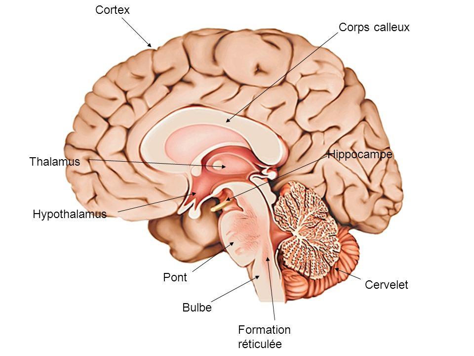 Cortex Corps calleux Hippocampe Thalamus Hypothalamus Pont Cervelet Bulbe Formation réticulée