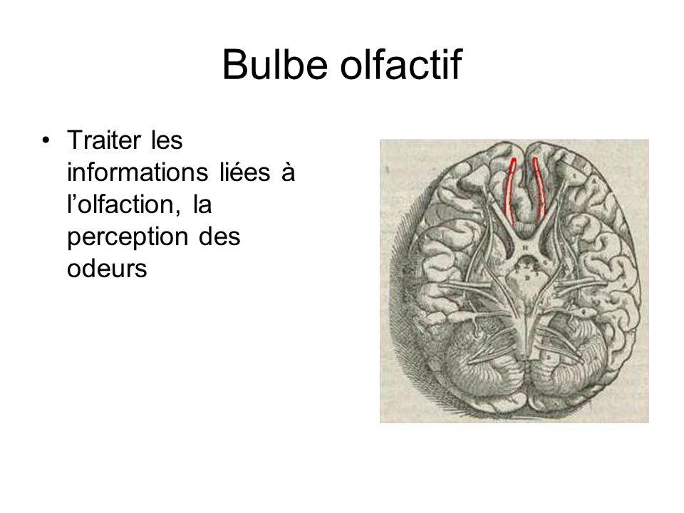 Bulbe olfactif Traiter les informations liées à l'olfaction, la perception des odeurs