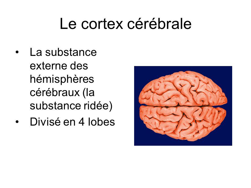 Le cortex cérébrale La substance externe des hémisphères cérébraux (la substance ridée) Divisé en 4 lobes.