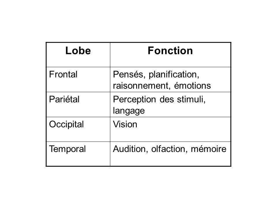 Lobe Fonction Frontal Pensés, planification, raisonnement, émotions