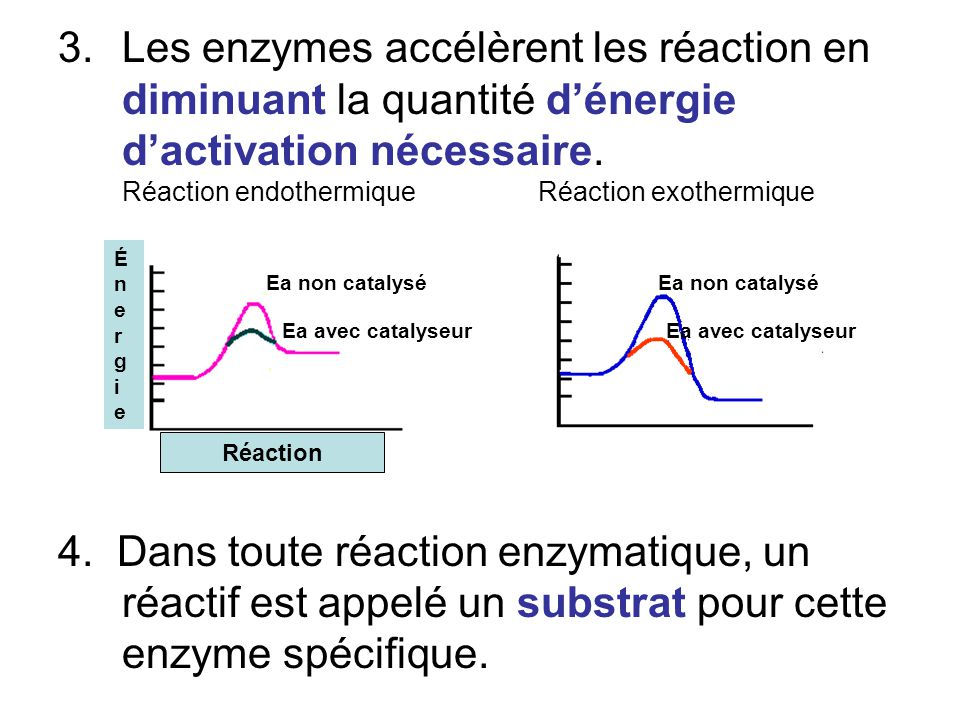Les enzymes accélèrent les réaction en diminuant la quantité d'énergie d'activation nécessaire. Réaction endothermique Réaction exothermique