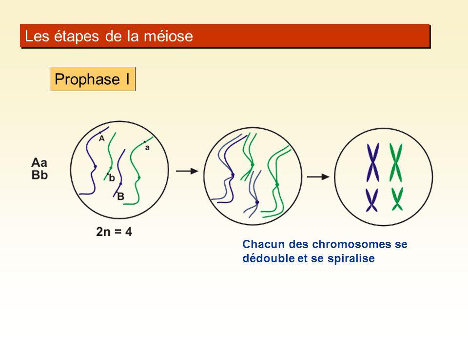 Les étapes de la méiose Prophase I