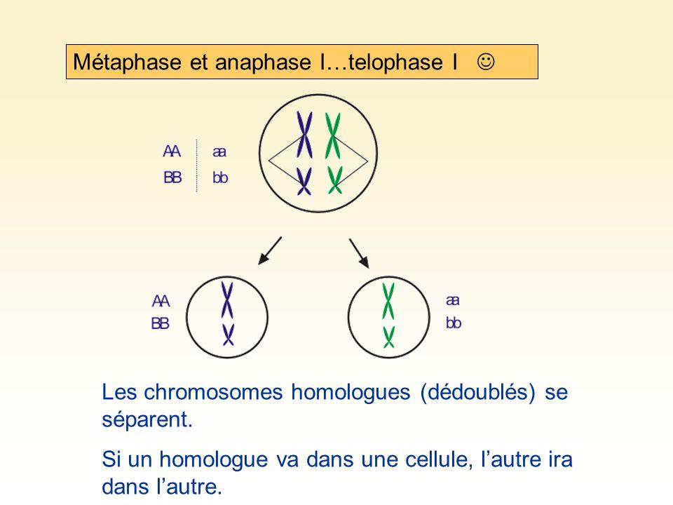 Métaphase et anaphase I…telophase I 