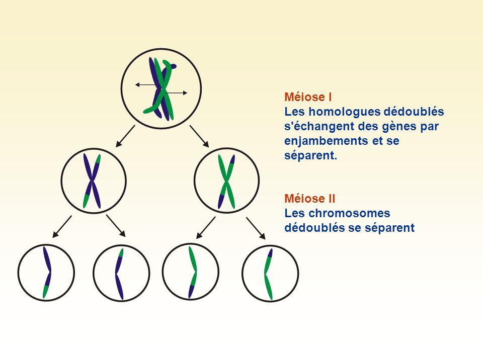 Méiose I Les homologues dédoublés s échangent des gènes par enjambements et se séparent.