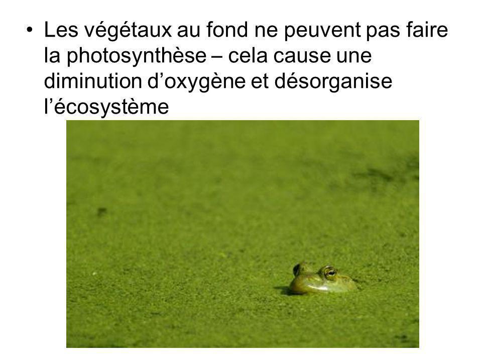 Les végétaux au fond ne peuvent pas faire la photosynthèse – cela cause une diminution d'oxygène et désorganise l'écosystème