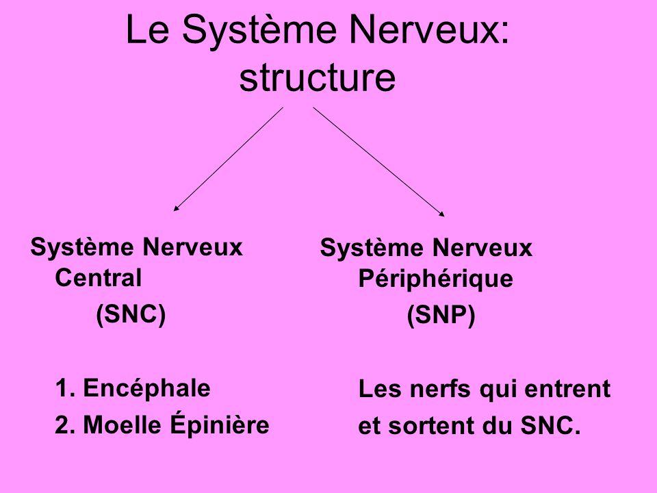 Le Système Nerveux: structure