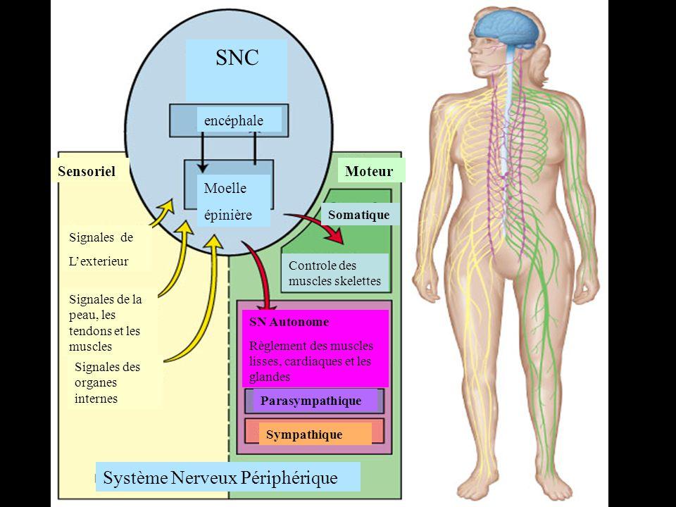 SNC Système Nerveux Périphérique encéphale Sensoriel Moteur Moelle