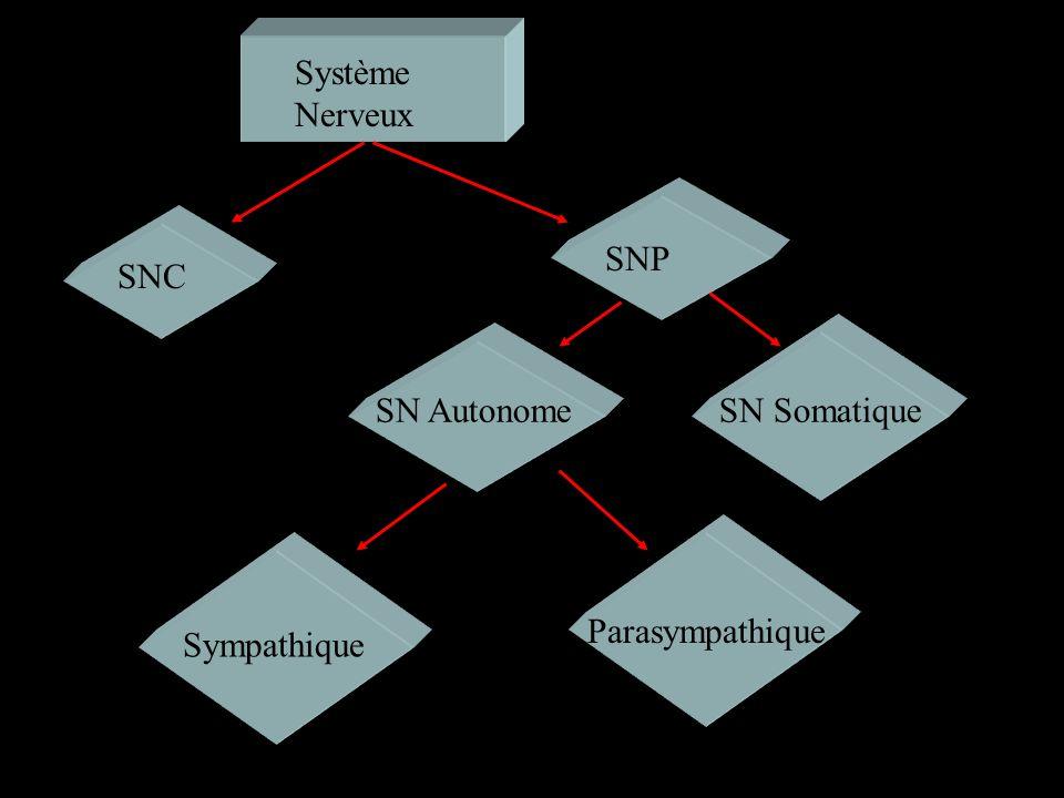 Système Nerveux SNP SNC SN Autonome SN Somatique Parasympathique Sympathique