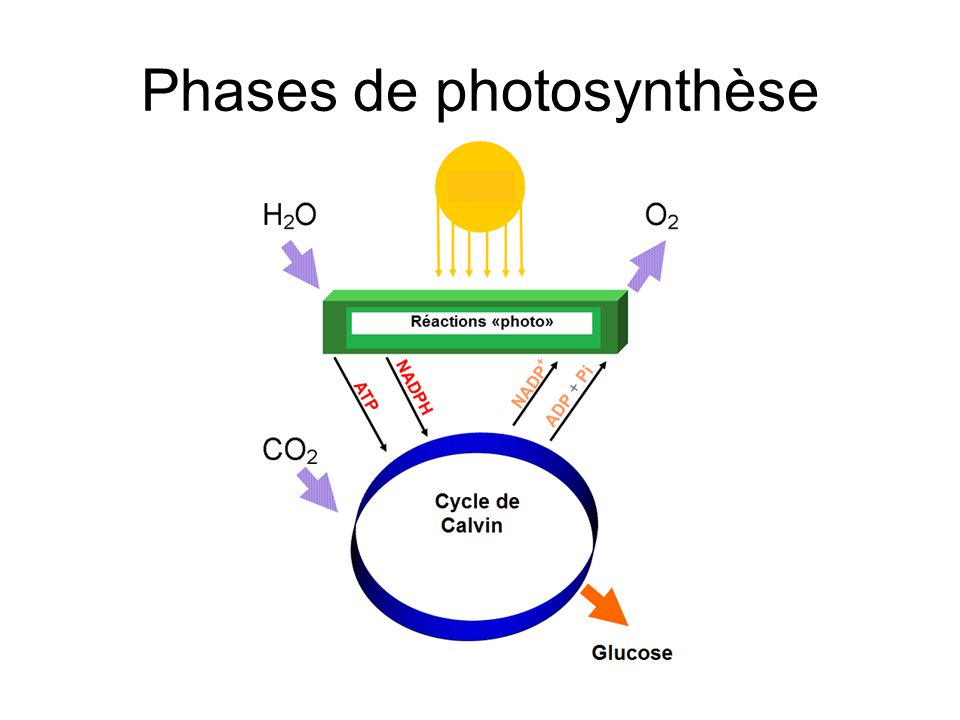 Phases de photosynthèse
