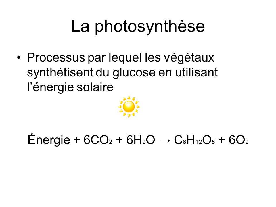 La photosynthèse Processus par lequel les végétaux synthétisent du glucose en utilisant l'énergie solaire.