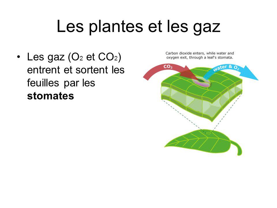 Les plantes et les gaz Les gaz (O2 et CO2) entrent et sortent les feuilles par les stomates
