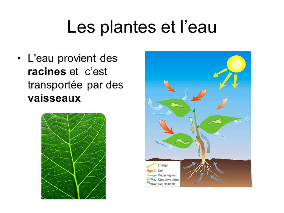 Les plantes et l'eau L eau provient des racines et c'est transportée par des vaisseaux