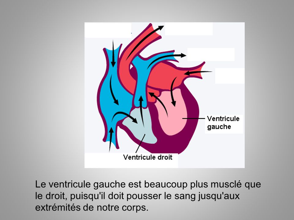 Le ventricule gauche est beaucoup plus musclé que le droit, puisqu il doit pousser le sang jusqu aux extrémités de notre corps.