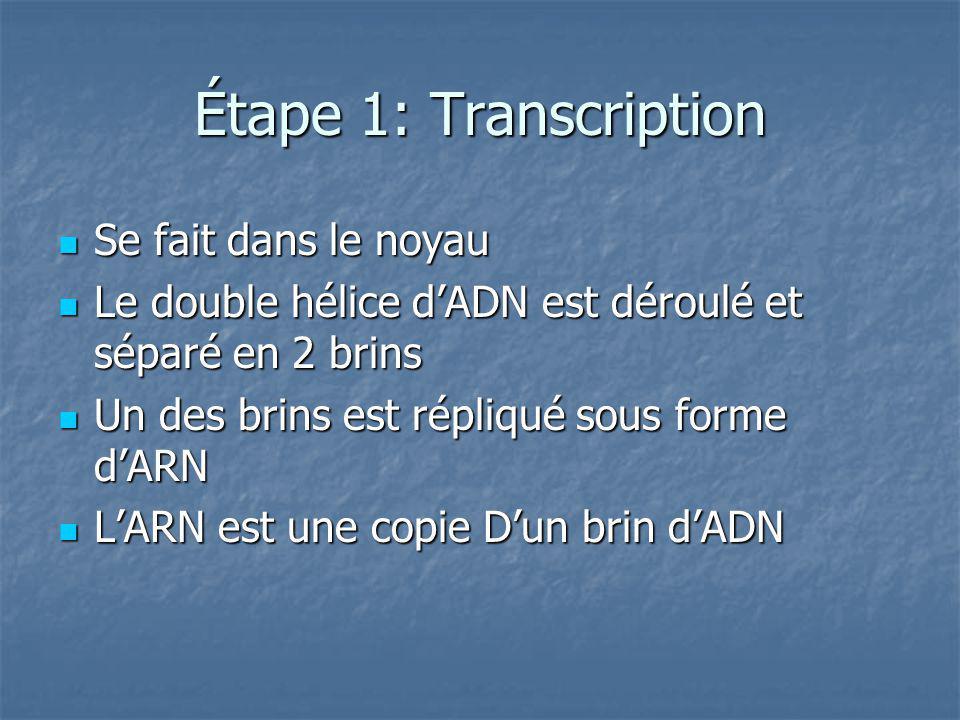 Étape 1: Transcription Se fait dans le noyau