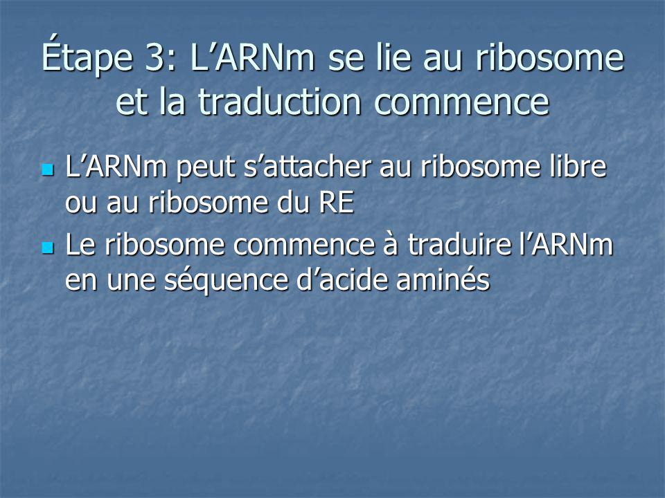 Étape 3: L'ARNm se lie au ribosome et la traduction commence