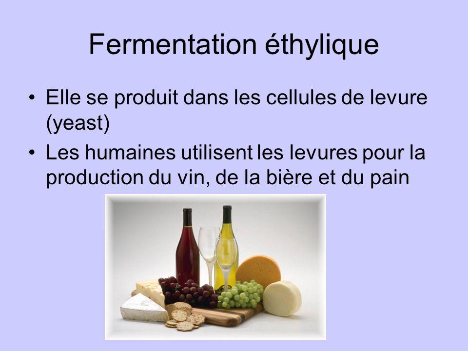 Fermentation éthylique