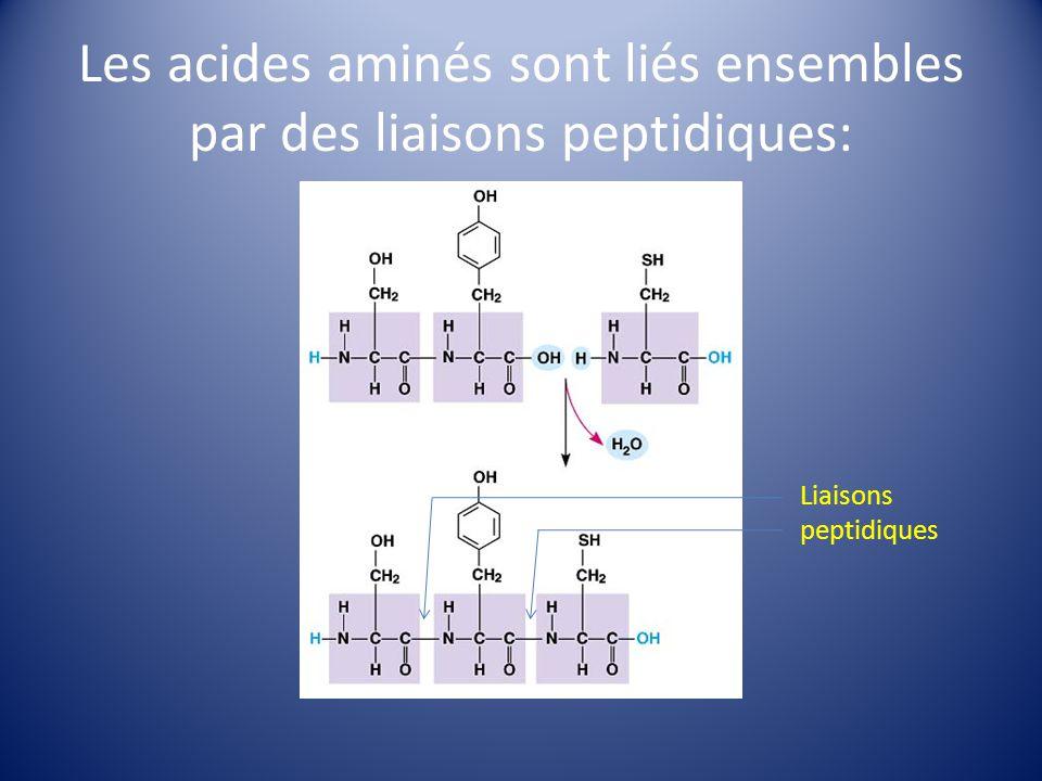 Les acides aminés sont liés ensembles par des liaisons peptidiques: