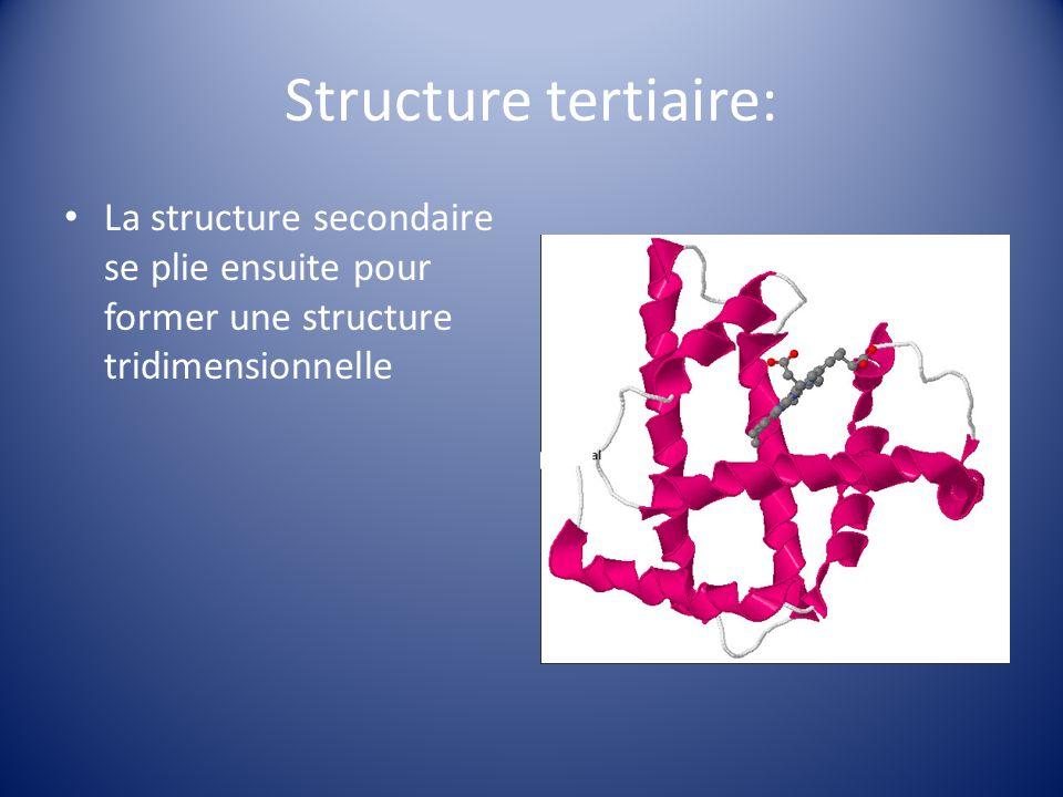 Structure tertiaire: La structure secondaire se plie ensuite pour former une structure tridimensionnelle.