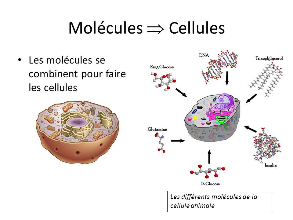 Molécules  Cellules Les molécules se combinent pour faire les cellules.