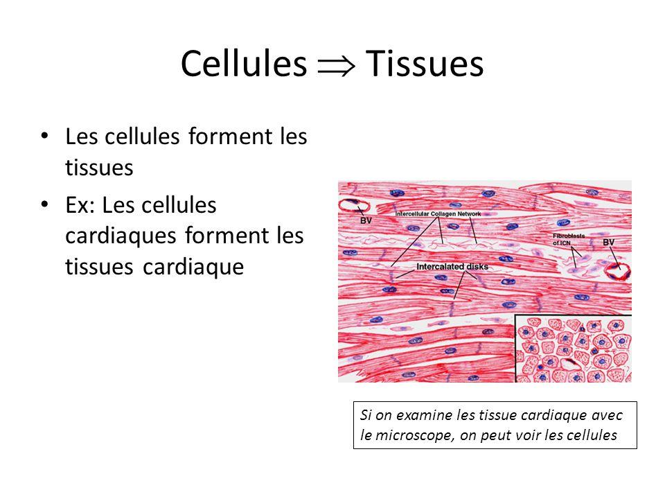 Cellules  Tissues Les cellules forment les tissues