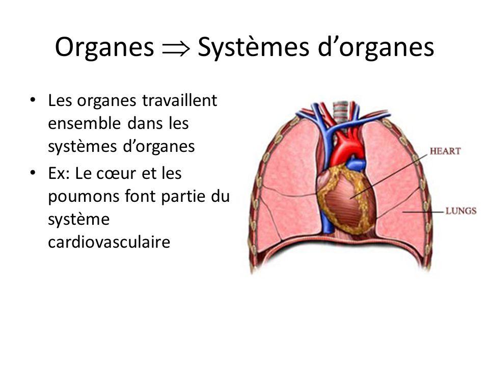 Organes  Systèmes d'organes