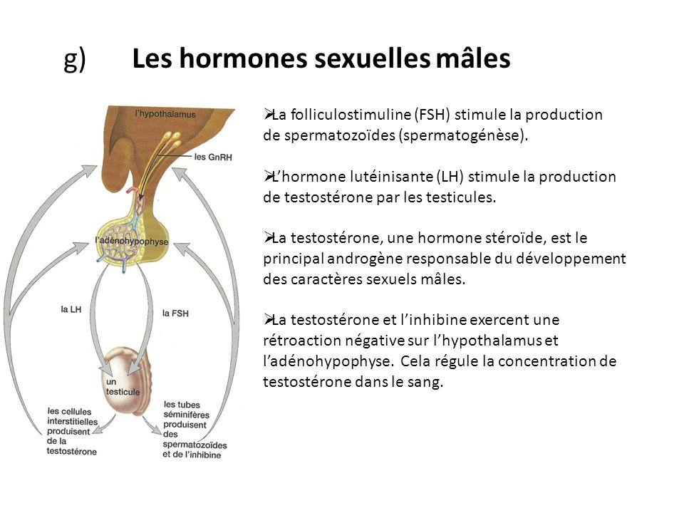 g) Les hormones sexuelles mâles