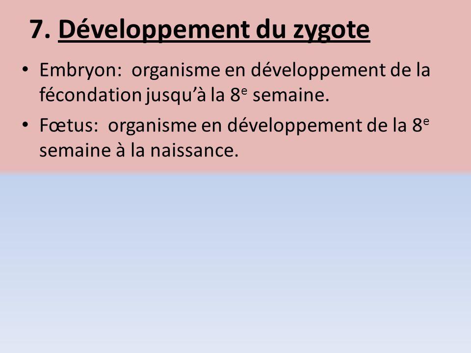7. Développement du zygote