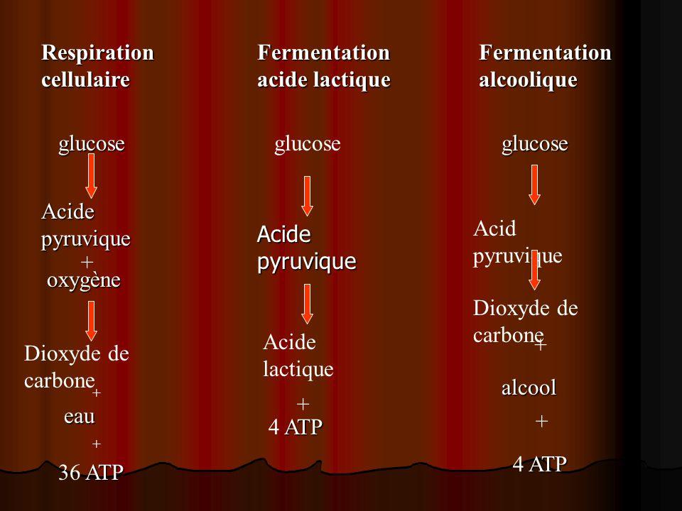 Respiration cellulaire. Fermentation acide lactique. Fermentation. alcoolique. glucose. glucose.