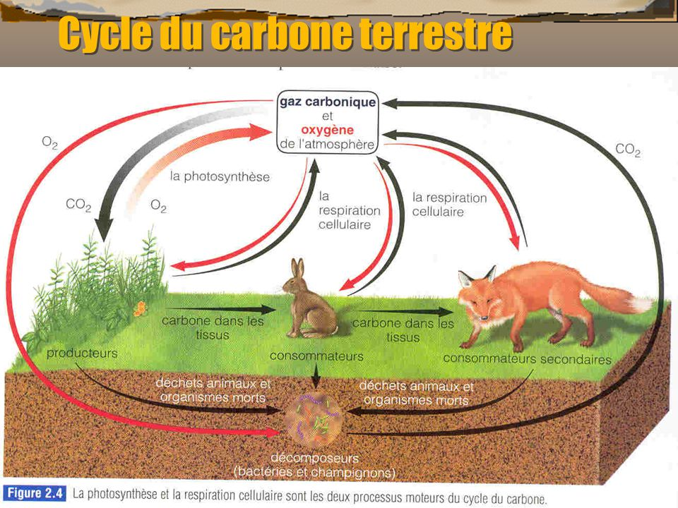 Cycle du carbone terrestre