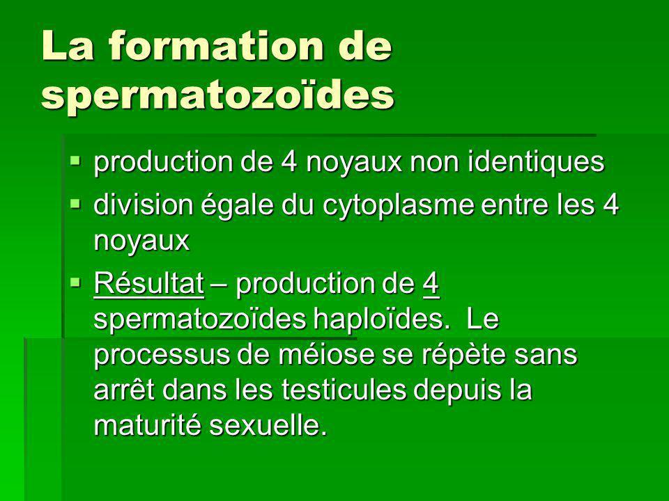 La formation de spermatozoïdes