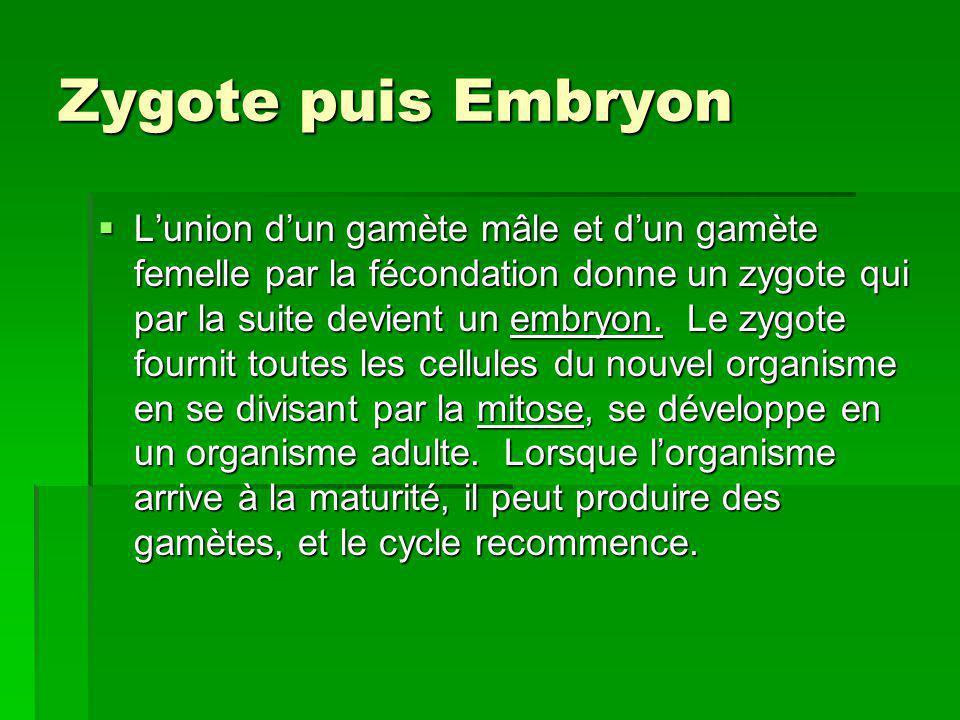 Zygote puis Embryon