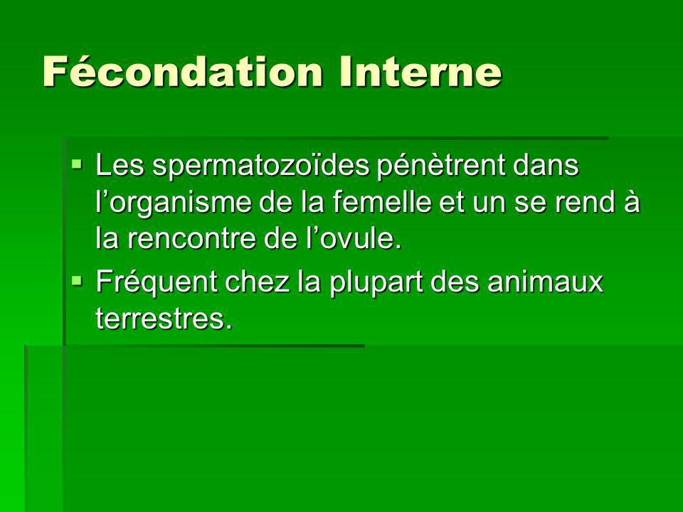Fécondation Interne Les spermatozoïdes pénètrent dans l'organisme de la femelle et un se rend à la rencontre de l'ovule.