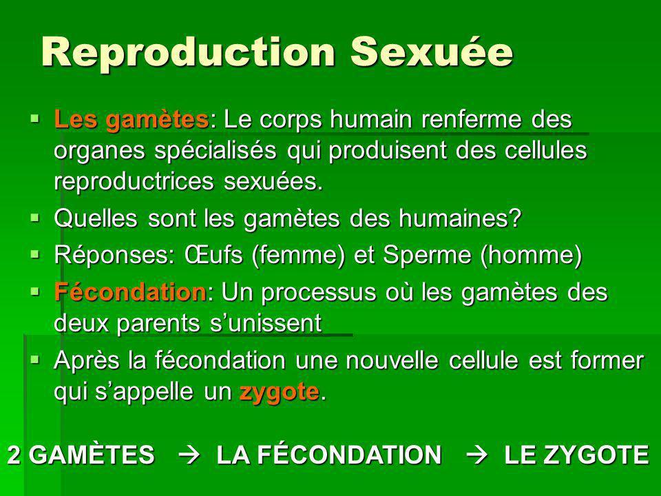 Reproduction Sexuée Les gamètes: Le corps humain renferme des organes spécialisés qui produisent des cellules reproductrices sexuées.