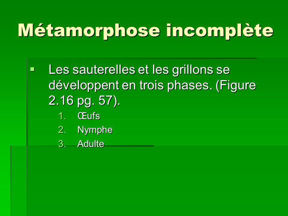 Métamorphose incomplète