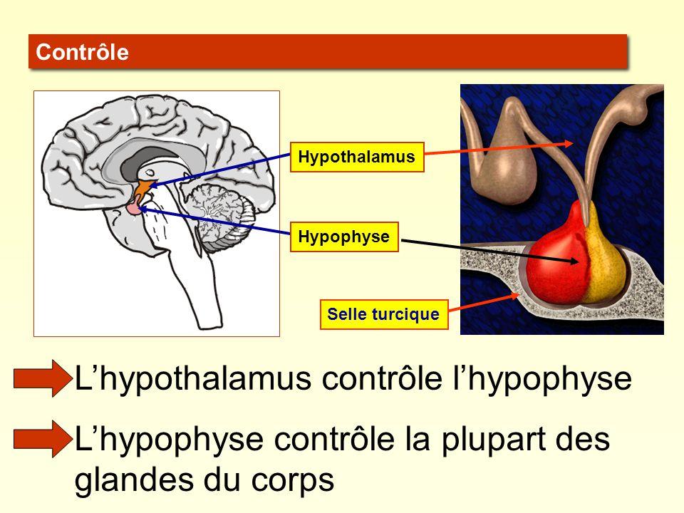 L'hypothalamus contrôle l'hypophyse