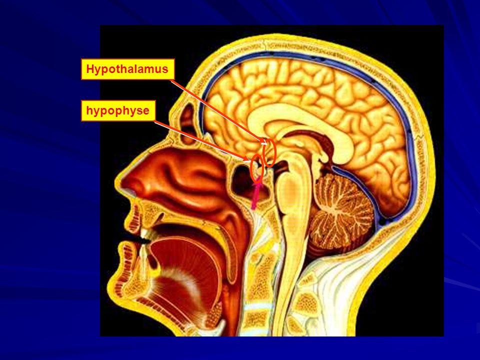 Hypothalamus Hypothalamus hypophyse hypophyse