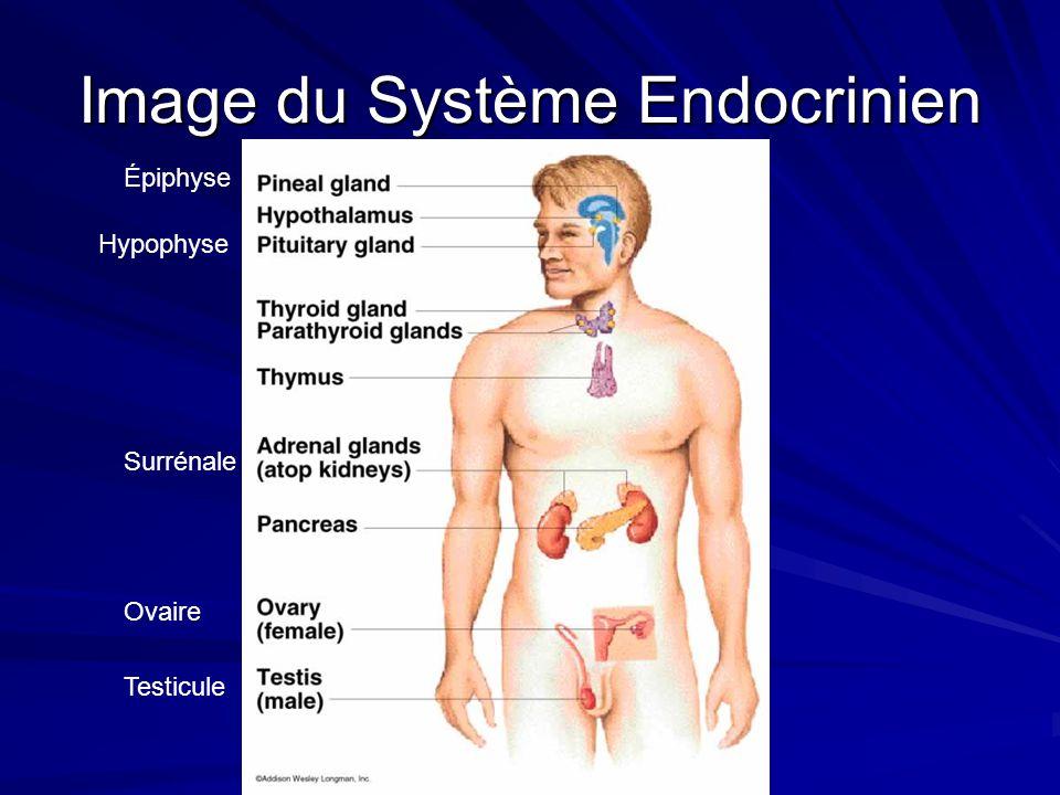 Image du Système Endocrinien