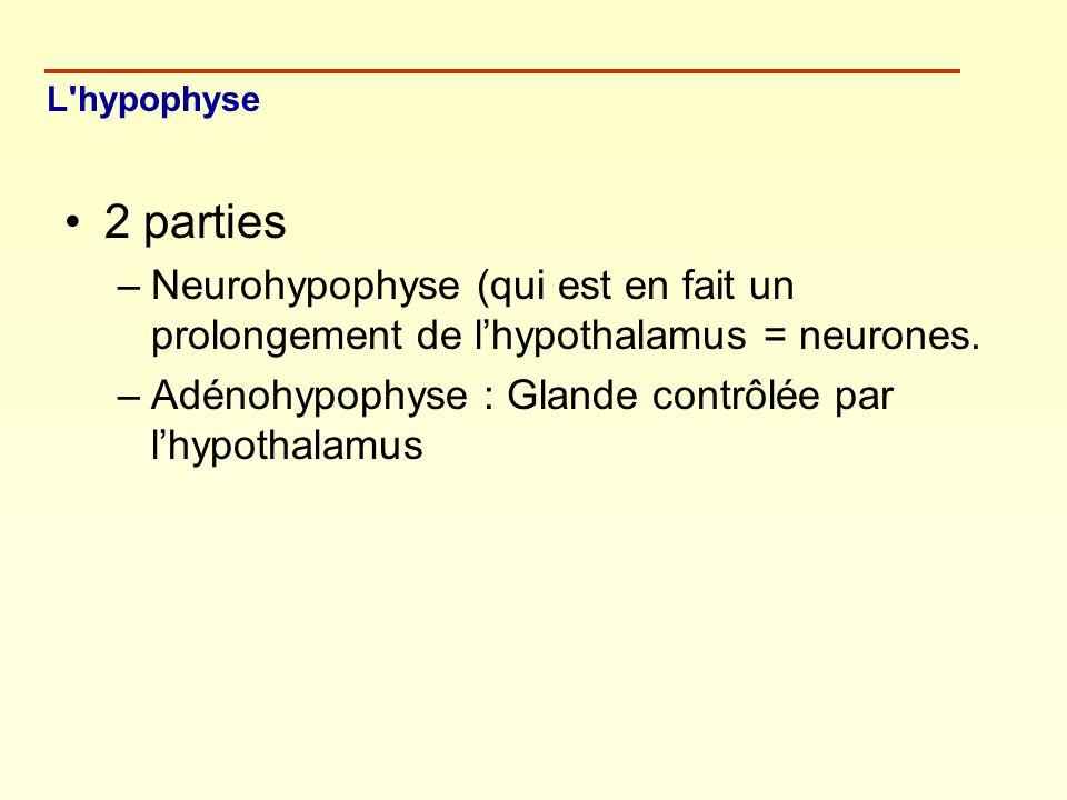 L hypophyse 2 parties. Neurohypophyse (qui est en fait un prolongement de l'hypothalamus = neurones.