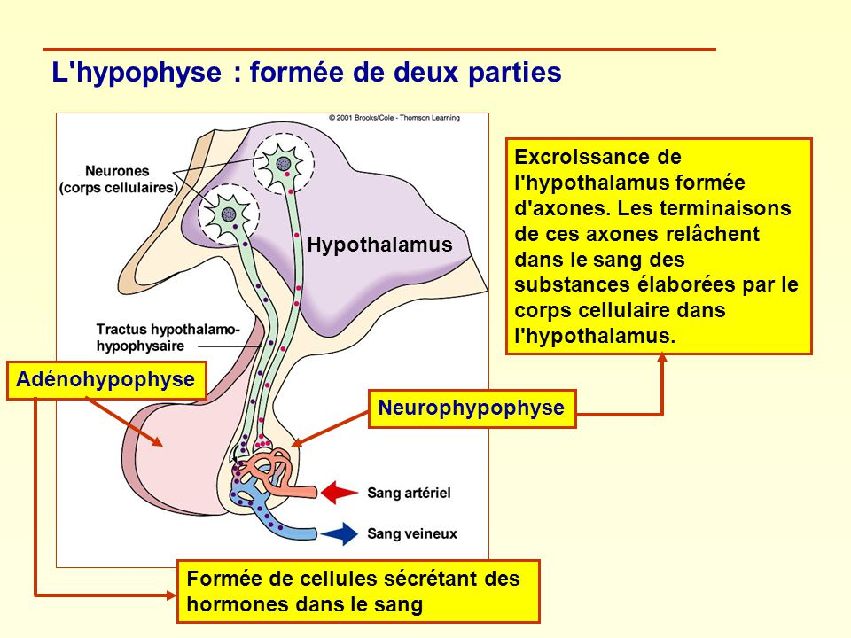 L hypophyse : formée de deux parties