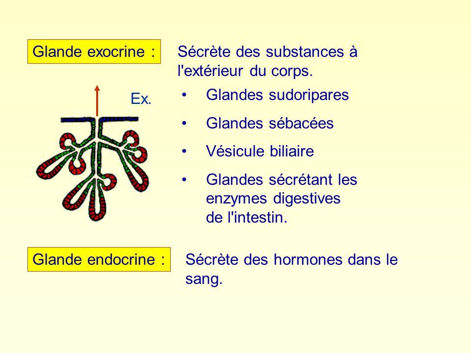 Glande exocrine : Sécrète des substances à l extérieur du corps. Glandes sudoripares. Glandes sébacées.
