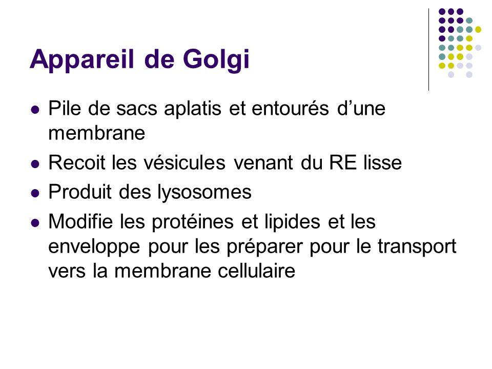 Appareil de Golgi Pile de sacs aplatis et entourés d'une membrane