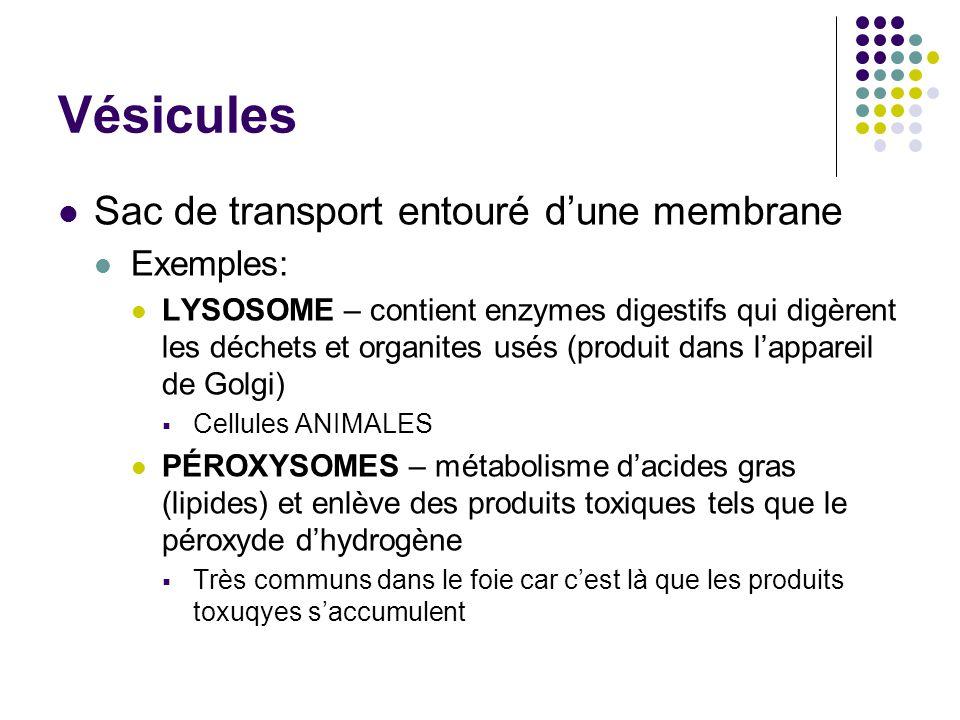 Vésicules Sac de transport entouré d'une membrane Exemples: