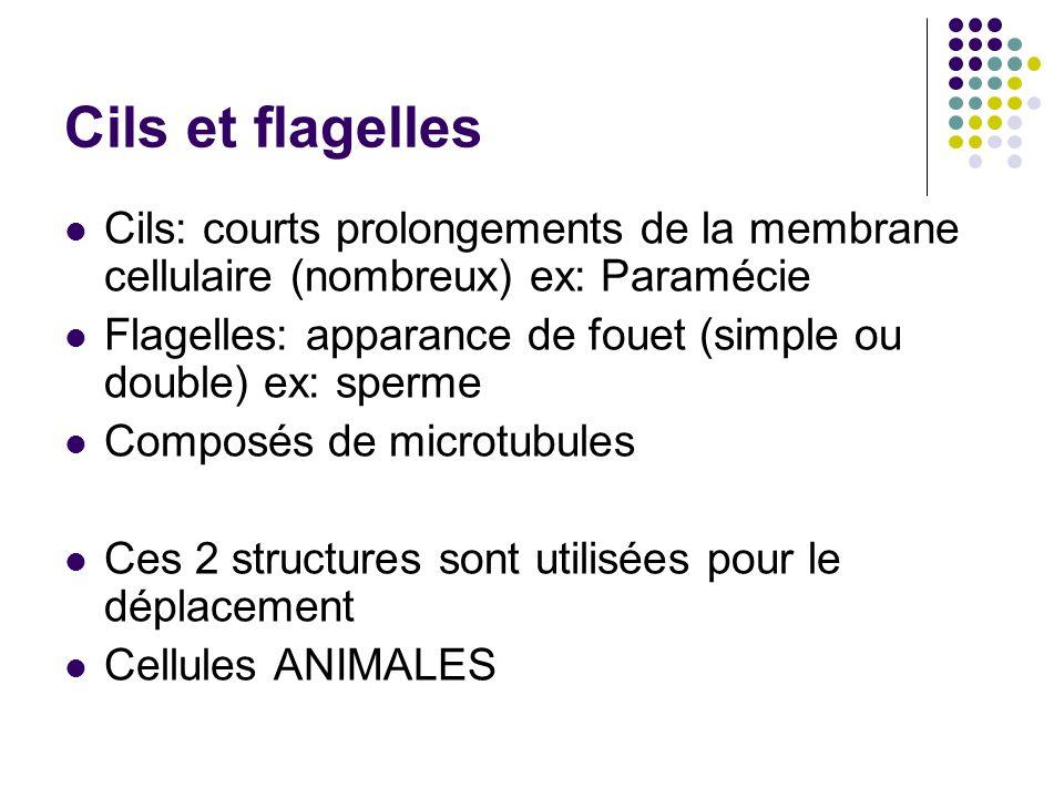 Cils et flagelles Cils: courts prolongements de la membrane cellulaire (nombreux) ex: Paramécie.
