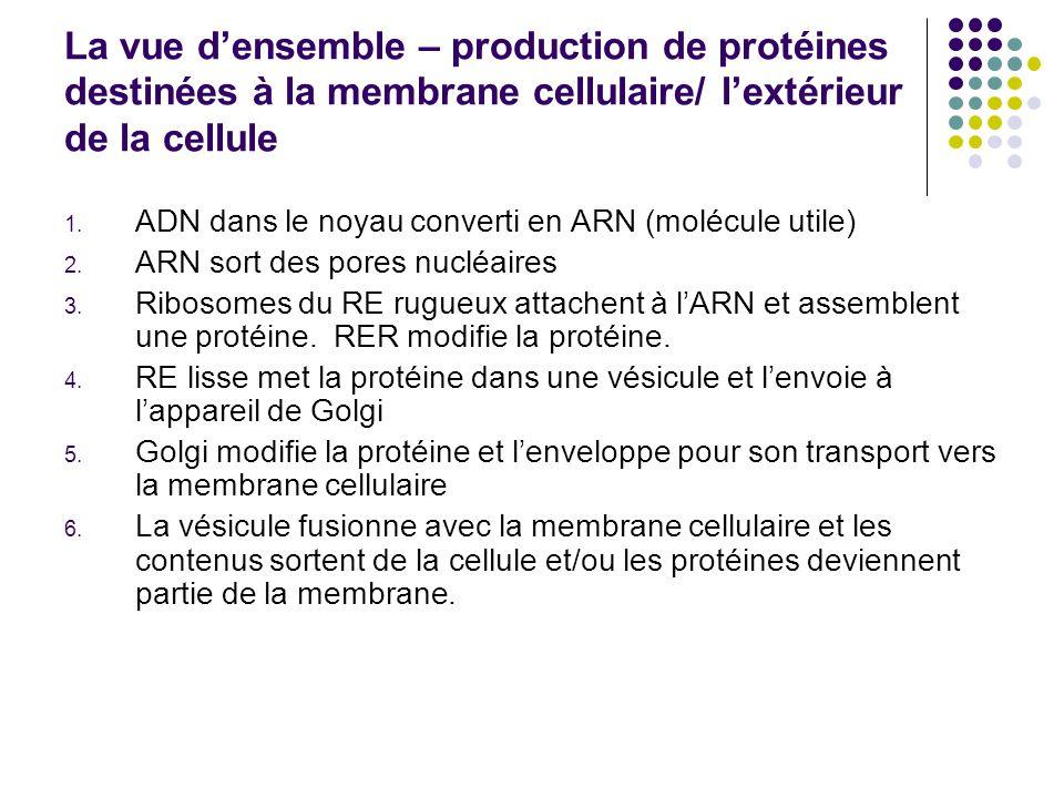 La vue d'ensemble – production de protéines destinées à la membrane cellulaire/ l'extérieur de la cellule