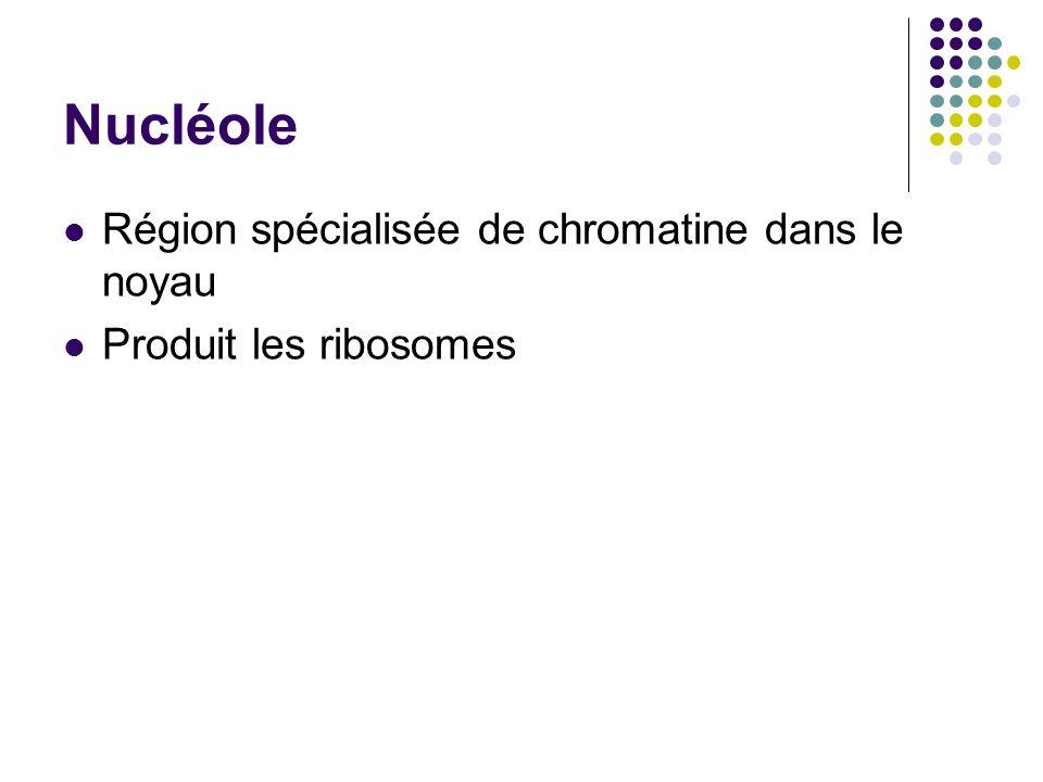 Nucléole Région spécialisée de chromatine dans le noyau