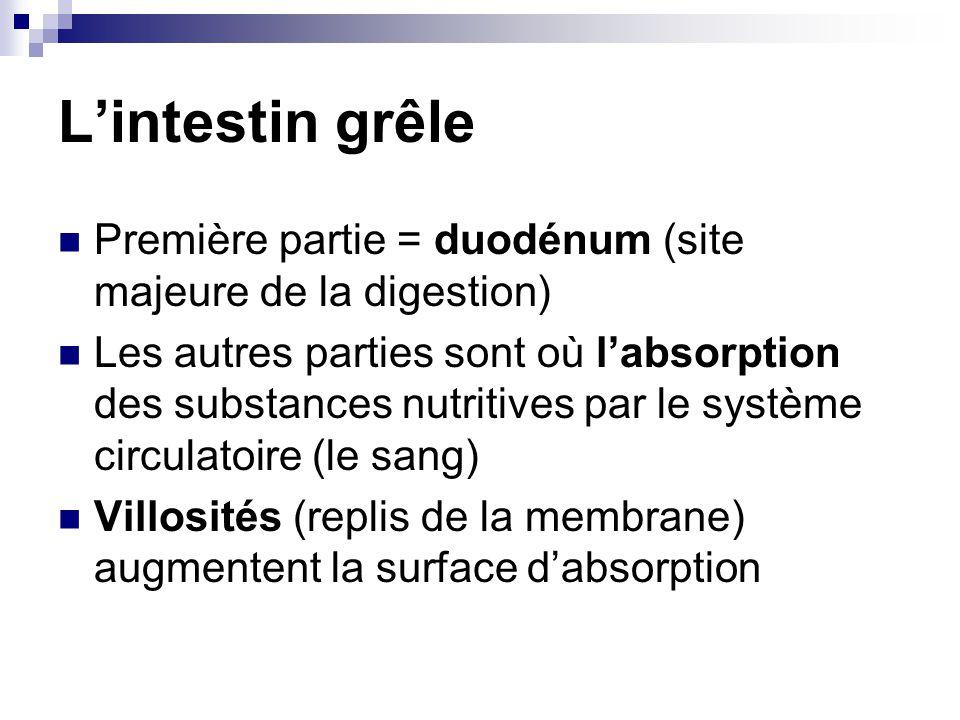 L'intestin grêle Première partie = duodénum (site majeure de la digestion)