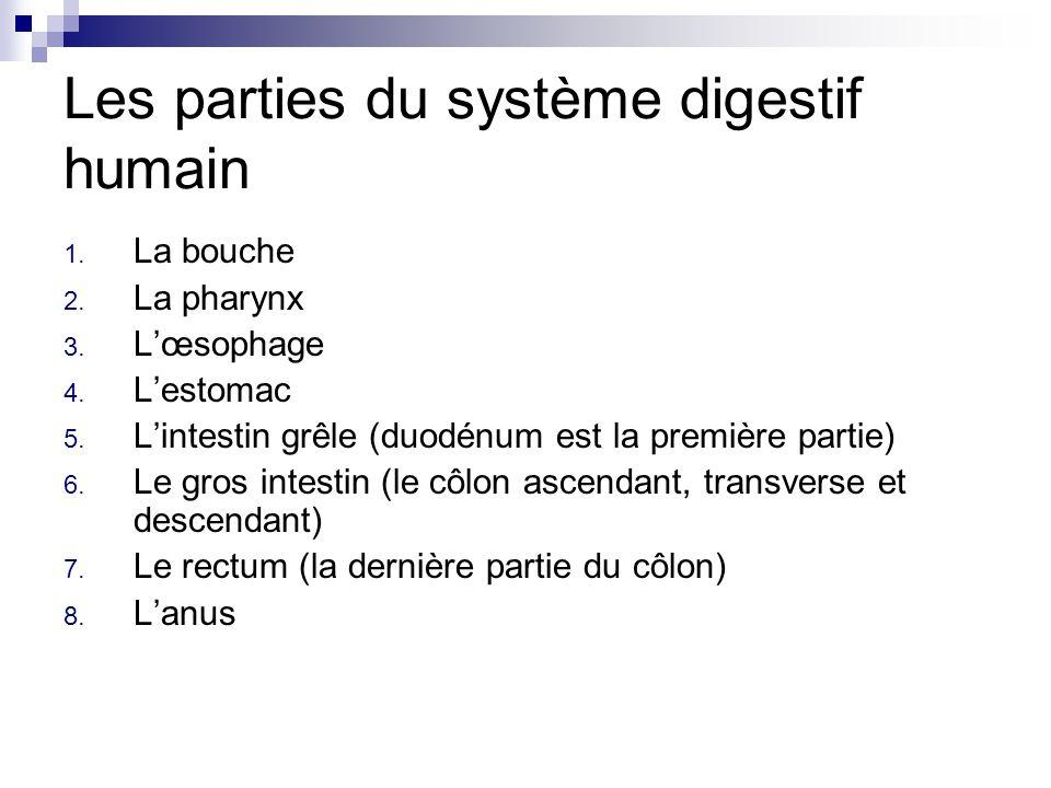 Les parties du système digestif humain